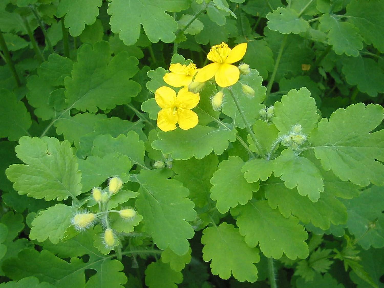 Amazon.com: 1 paquete de 44 Chelidonium majus – semillas de flores ...