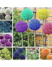 Kisshes Giardino - Semi variopinti rari di gigante di Allium del giardino dei semi di fiori ornamentali giganti
