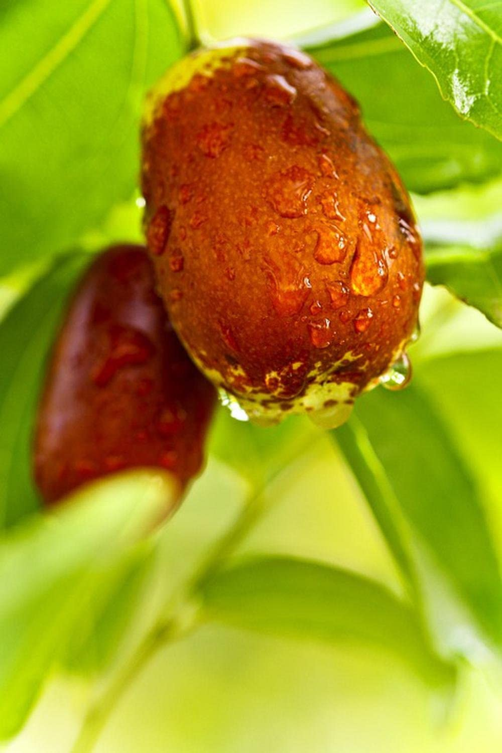 Gifts Delight Laminated 24x36 inches Poster: Jujube Food Date Date Tree Fruit Health Raindrops Nature Macro
