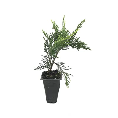 Old Gold Juniper - 60 Live Plants - Juniperus Chinensis - Drought Tolerant Cold Hardy Evergreen Ground Cover : Garden & Outdoor
