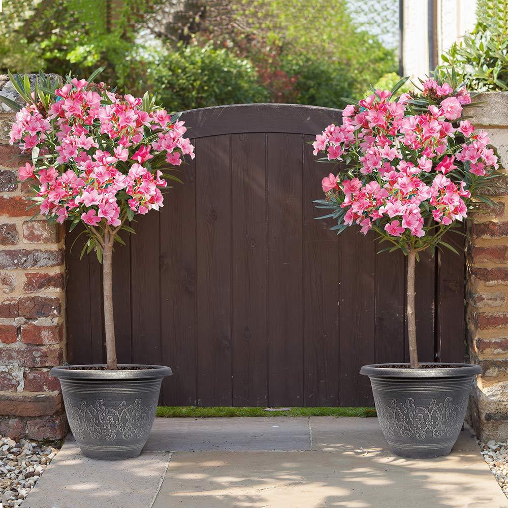 Premium Oleander Standard Pink Tree 80-100cm Tall in 20cm Pot