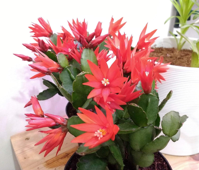 Portal Cool Cactus Rouge P/ã/¢Ques Mature Angiosperme Rhipsalidopsis Hatiora Cacti