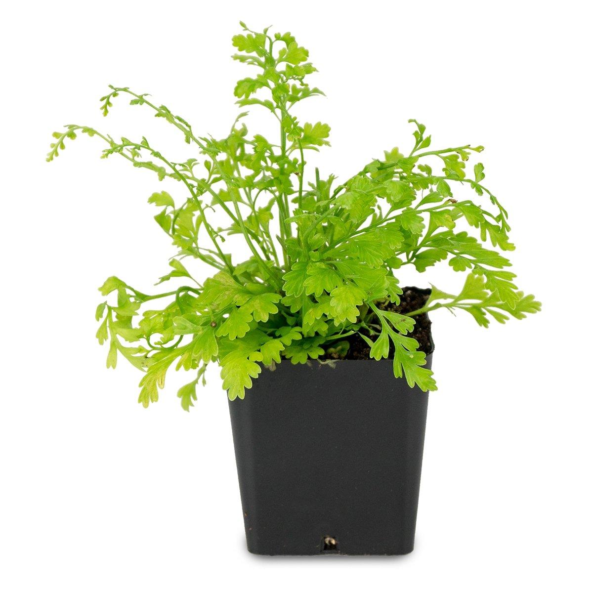 "Picture of Live Mother Fern aka Asplenium bulbiferum Plant Fit 4"" Pot"