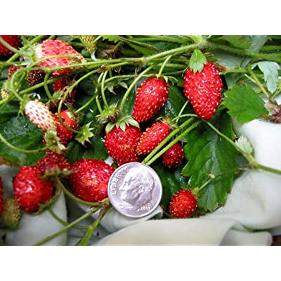100 ALPINE STRAWBERRY Fragaria Vesca Fruit White Flower Seeds + Gift & Comb S/H : Garden & Outdoor