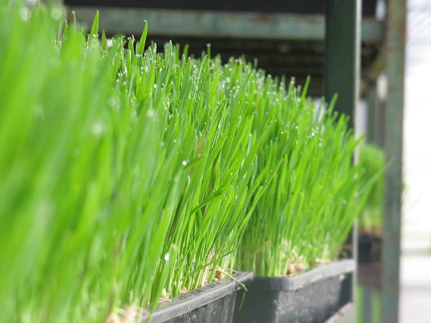 Organic Wheat Grass Seeds for sprouting Humans and Pets 1 kilo Seeds of the Earth
