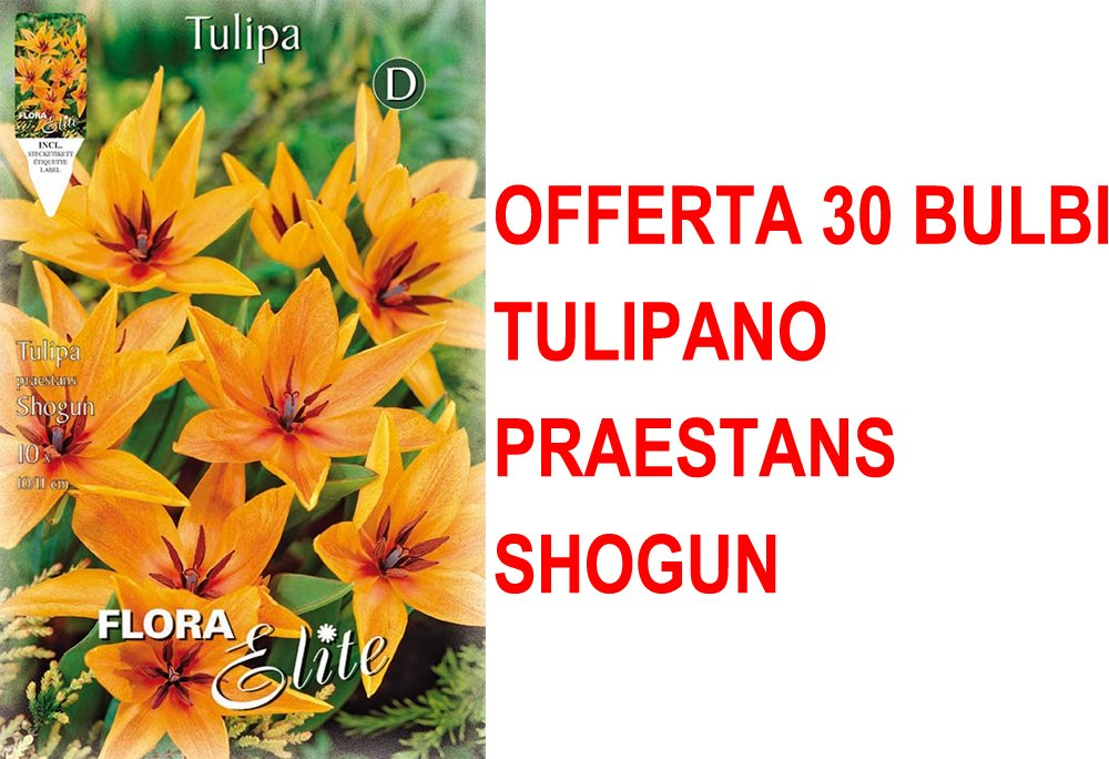OFFERTA 30 BULBI AUTUNNALI TULIPANO SHOGUN BULBS BULBES PERAGA