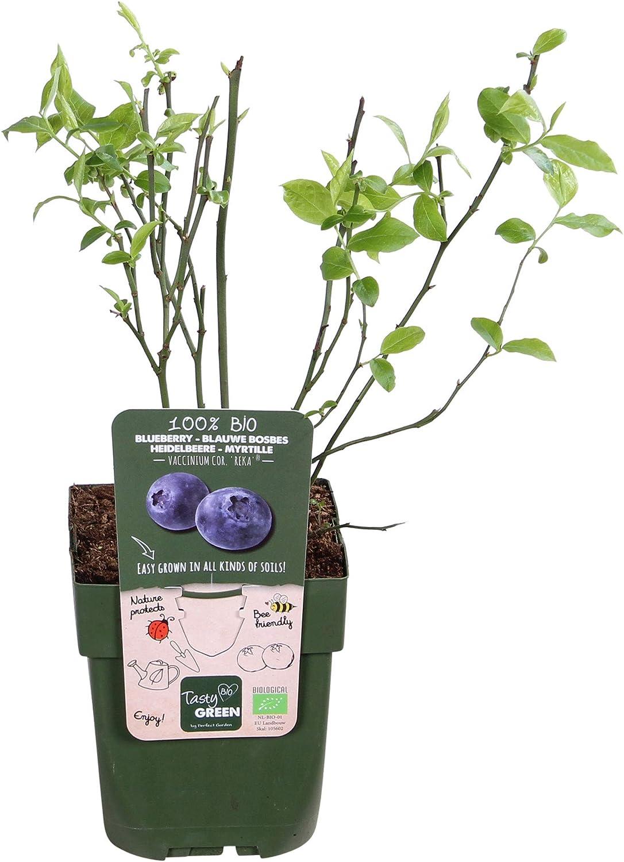 Pot /Ø 12cm Blue Fruits 2X Vaccinium corybosumBrigitta Blue Height 30-60cm Set of Blueberry Bushes