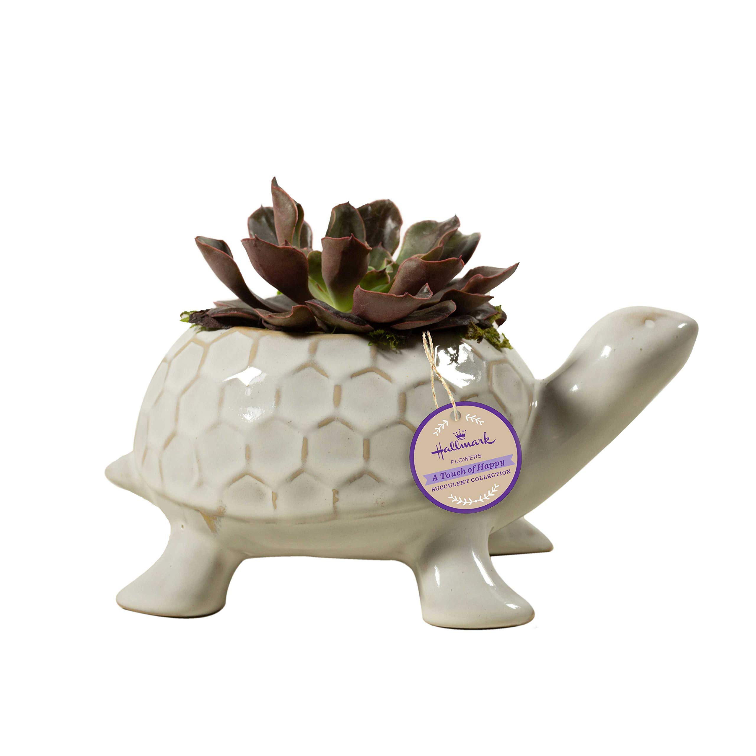 Live Succulent in 8'' White Turtle Ceramic Container, From Hallmark Flowers
