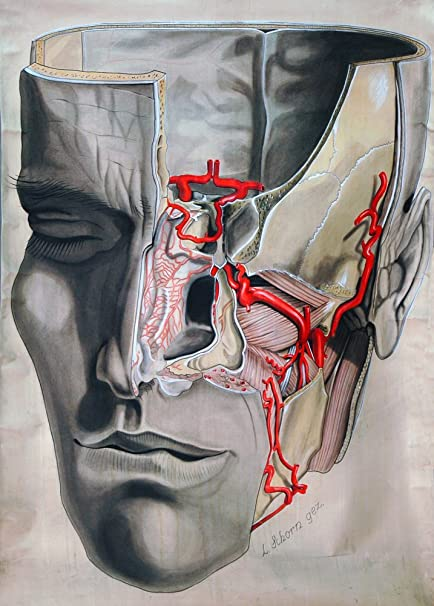 Amazon.com: Vintage Anatomy MAXILLARY ARTERY OF THE HUMAN FACE c1905 ...