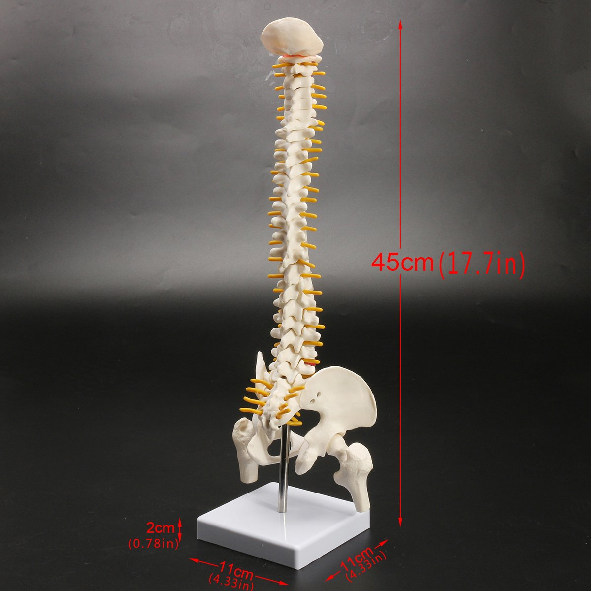 Spine Model Vertebral Column Human Spine Bone Skeleton 177inch