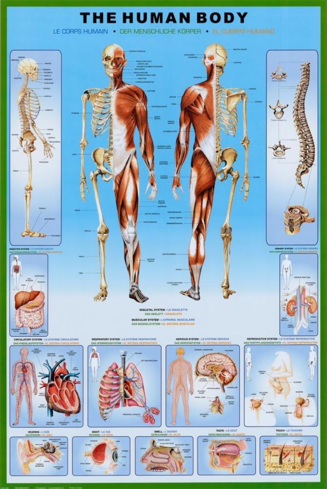 Amazon.de: 1art1 36800 Der Menschliche Körper - Anatomie Poster (91 ...
