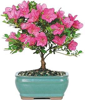 Amazon Com Bonsai Boy Flowering Red Azalea Hino Crimson Kurume Bonsai Plants Garden Outdoor