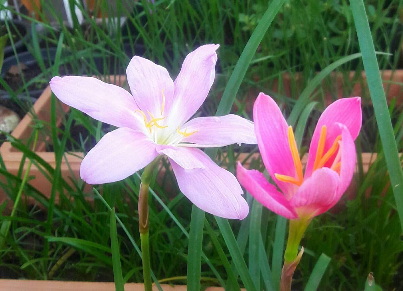 Amazon 20 Red New Variety Rain Lily Flowering Bulbs Beautiful