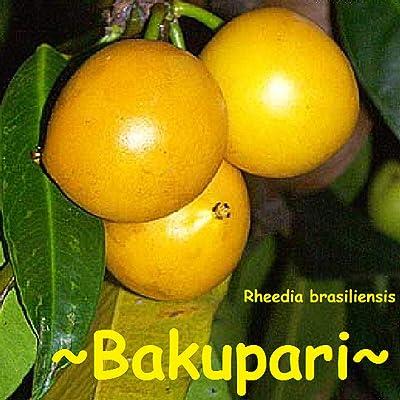 "Fruit Tree BAKUPARI""Rheedia brasiliensis"" Brazil Plant - 2-3+ft Medium Size Pot'd : Garden & Outdoor"