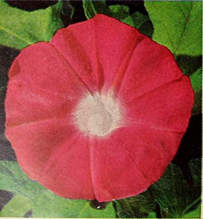 Amazon com : 13 6K Seeds or 1 LB Morning Glory Tall Mix Flower Seeds