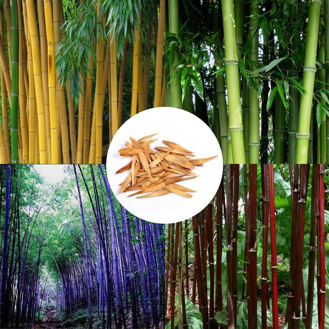 Exotique Moso Bamboo Rarities Bamboo Seeds Hardy Vivace G/éant Bambou Plantes Semences Jardin /Étang Ornementales Plantes Masoke Graines