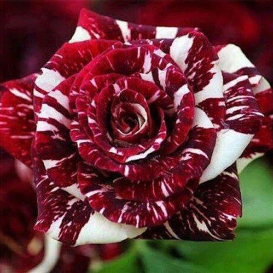 display08 30Pcs Rare Rose Flower Seeds Garden Decor Perennial Balcony Plant - Red