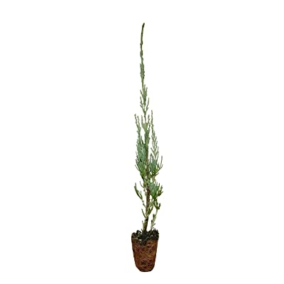 Skyrocket Juniper Juniperus Scopulorum Qty 30 Live Evergreen Trees : Garden & Outdoor