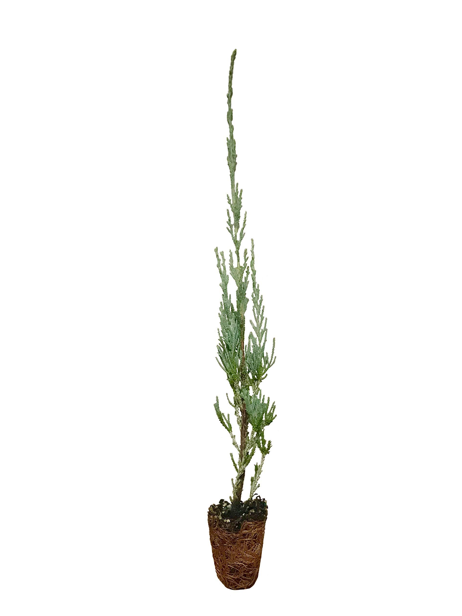 Skyrocket Juniper - 50 Live 2'' Pots - Juniperus Scopulorum - Upright Evergreen Trees
