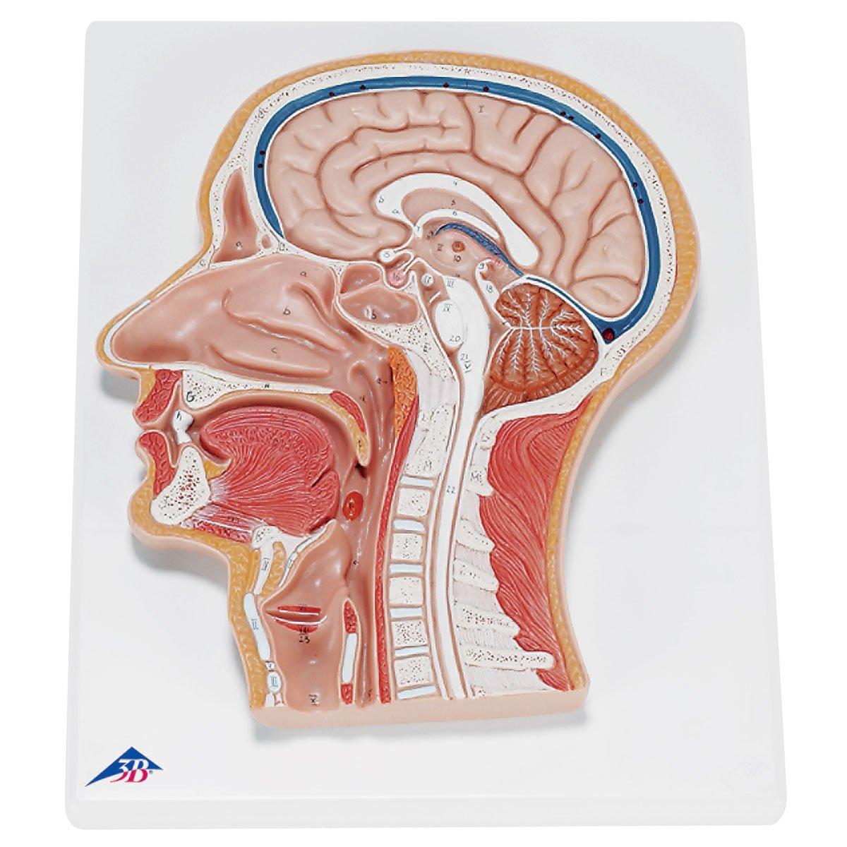 3B Scientific Menschliche Anatomie - Medianschnitt des Kopfes 3B Scientific GmbH C12