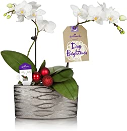 Hallmark Flowers Holiday Petite White Duo Orchid with Red Decorative Balls in 4-Inch Silver Ceramic Container