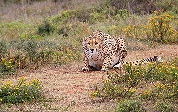 amazon ラミネート38 x 24ポスター cheetah predator wild animal動物