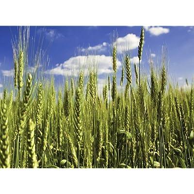 Triticale (Wheat x Rye Hybrid) Non-GMO Cereal Grain Crop Seeds - ½oz (~325s) : Garden & Outdoor