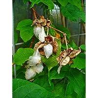 Asklepios-seeds® - 100 Semillas de Gossypium herbaceum algodón de Levante, algodón, algodonero, algodonero herbáceo…