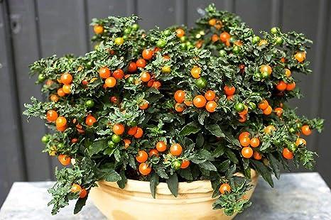 Portal Cool Las semillas del paquete: Antitonsillitis Nightshade falsas semillas de pimienta cubierta de flores de corte Ucrania: Amazon.es: Alimentación y ...