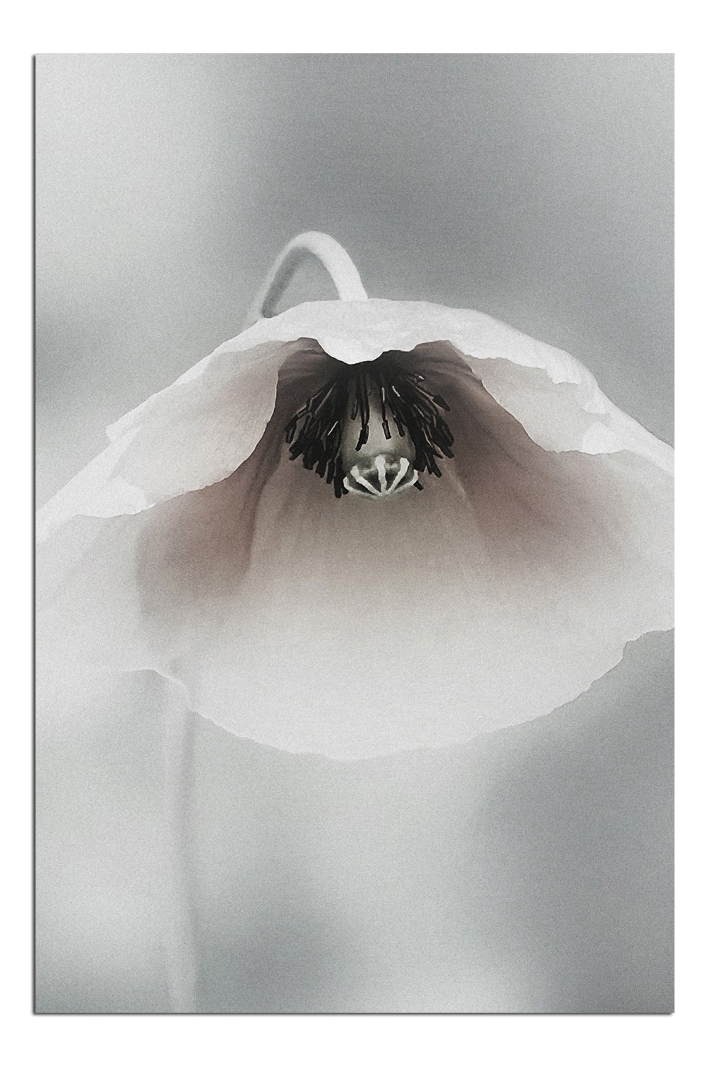 JP London Solvent Free Print PAPM1X57318 Ephemeral Beauty Fragile White Poppy Flower Mono Ready to Frame Poster Wall Art 36 h by 24 w