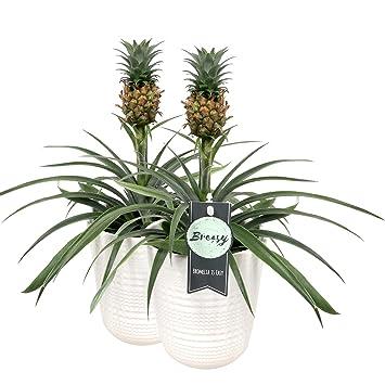 Breasy Bromelie Bromelie Ananas Corona Ananas Pflanze