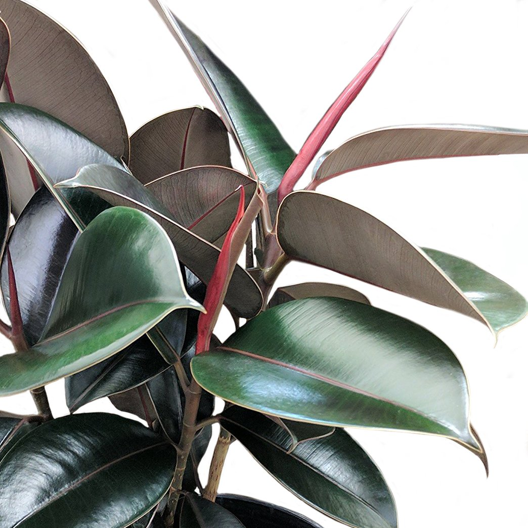 Costa Farms Burgundy Rubber, Ficus elastica, Live Indoor Plant, 2 to 3-Feet Tall, Ships with Décor Planter, Fresh From Our Farm, Excellent Gift or Home Décor by Costa Farms (Image #2)