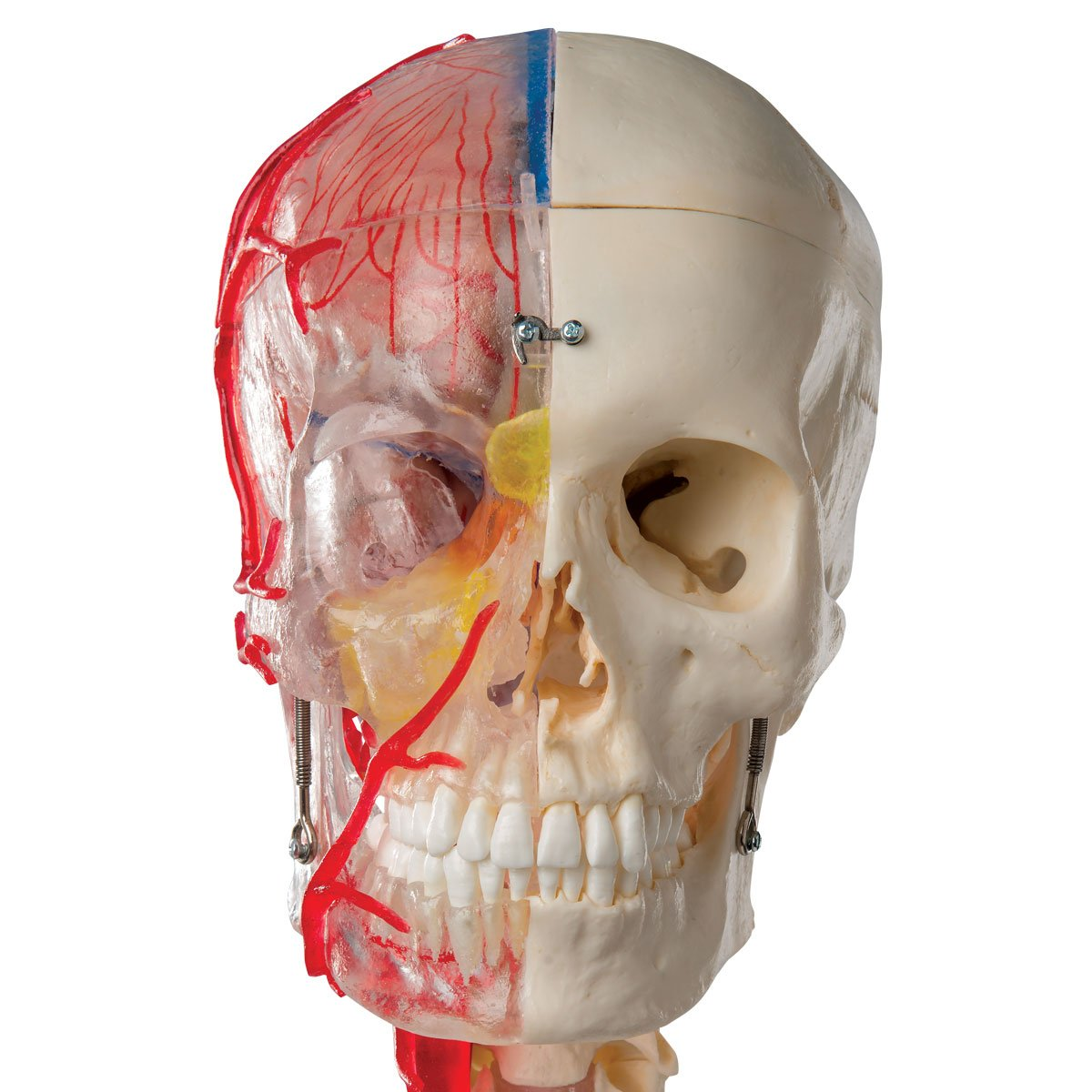 3B Scientific Menschliche Anatomie - Systemschädelmodell, 7-tlg ...