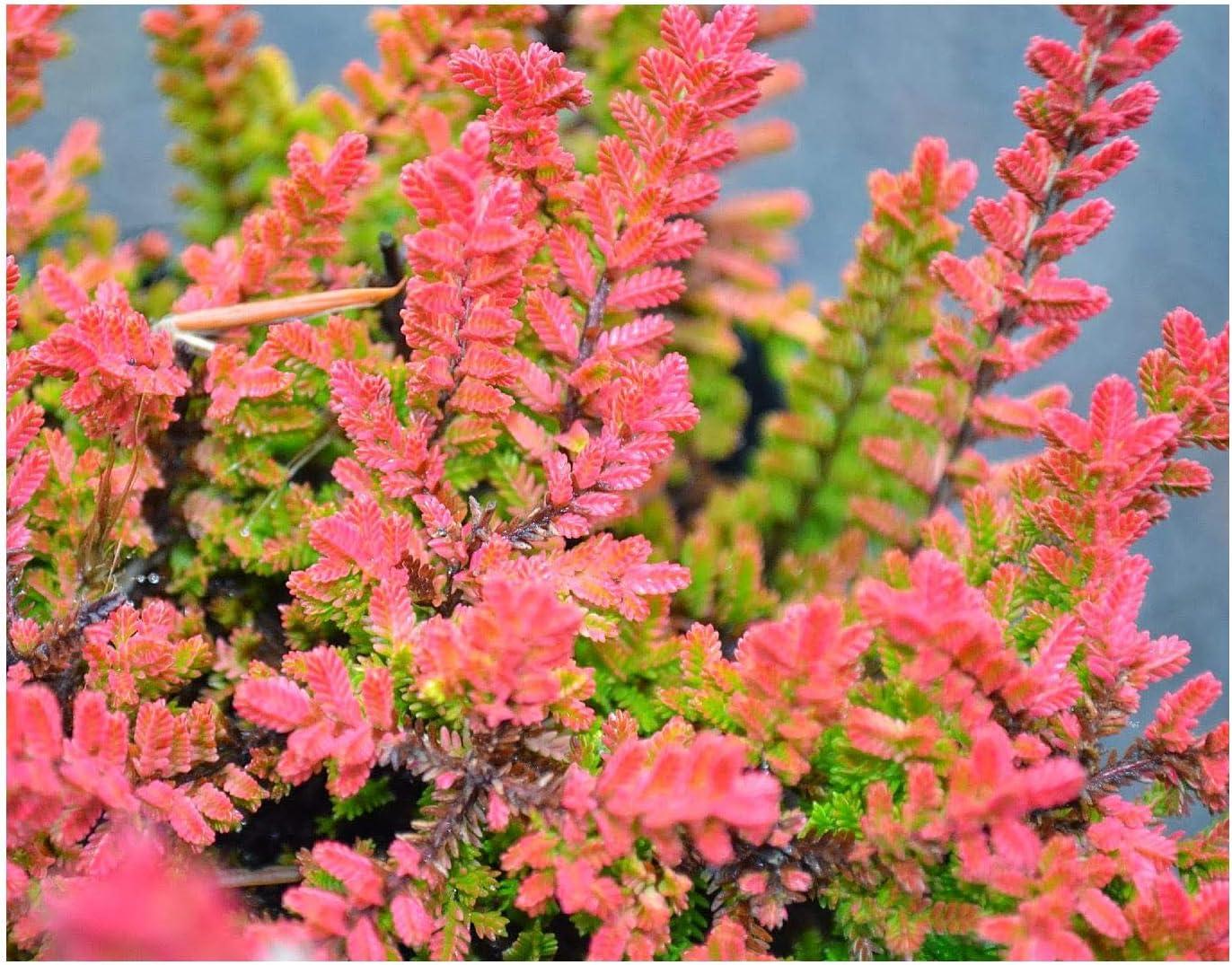 9cm Pots Heather Calluna/vulgaris/Darkness/' Crimson Autumn Flowers 3 PACK