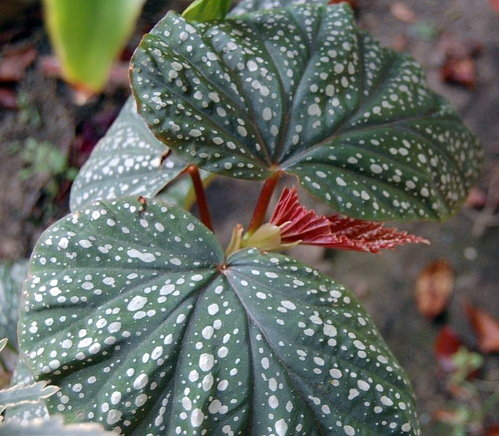 Heirloom Corallina de Lucerna Angel Wing Begonia - 2.5'' Pot - Great House Plant#hgs1069
