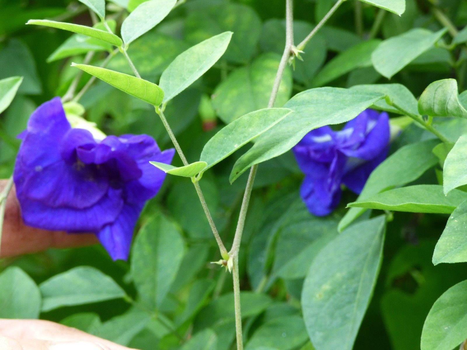 Blue Butterfly Pea Double Flower Vine 10 seeds Unique tea 266