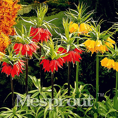 2016 New! 100PCS Crown Imperial Seeds Wang Fritillaria Seeds Easy To Grow Home Garden Ground Cover Plant See Rare Plant Seeds
