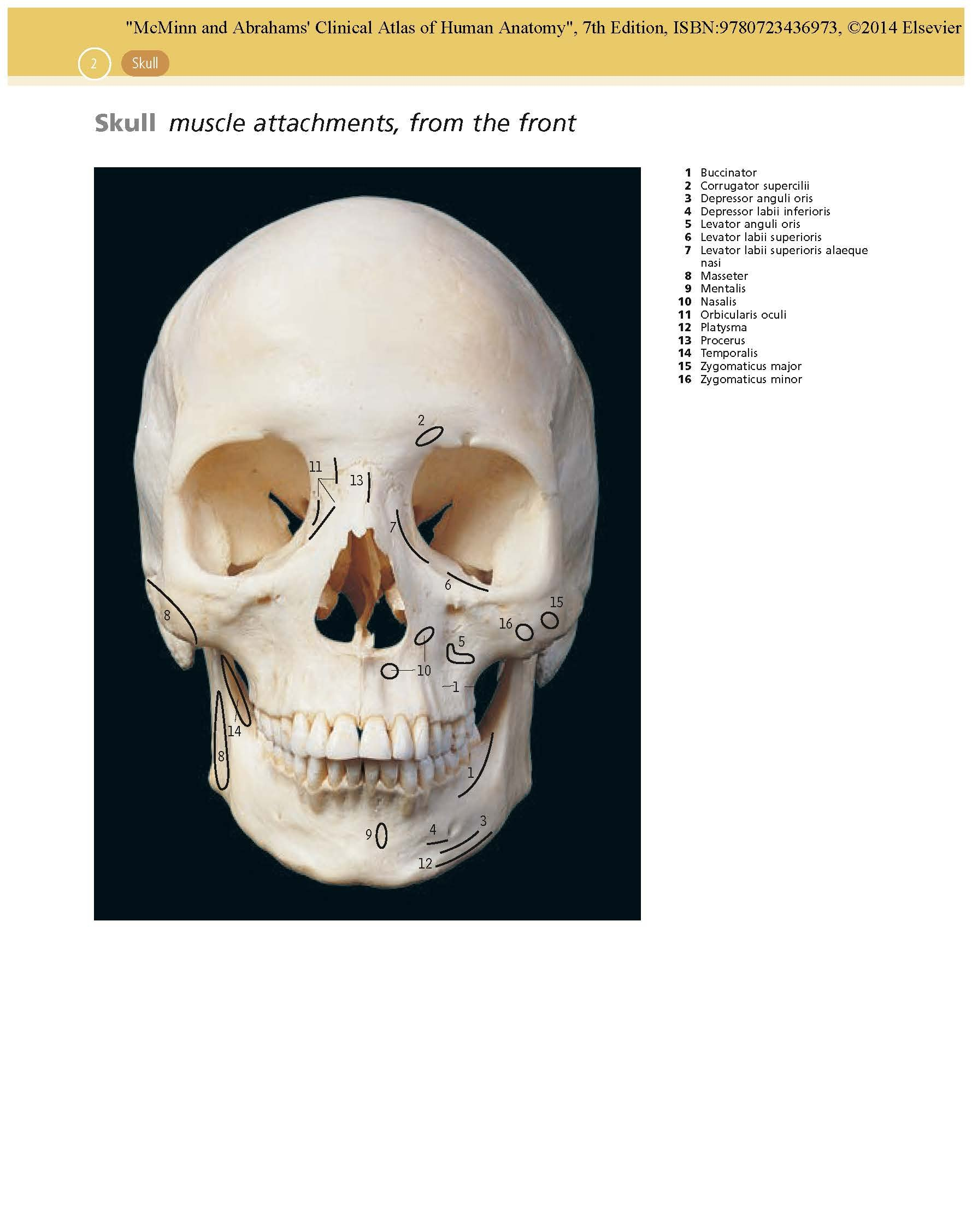 Buy McMinn and Abrahams\' Clinical Atlas of Human Anatomy: with ...