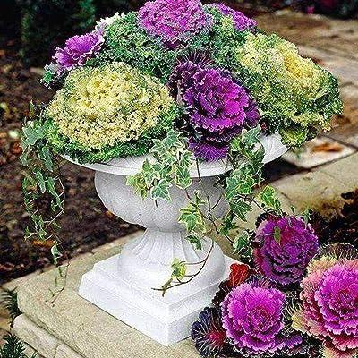 QiBest 100pcs/ Bag Multicolor Lettuce Seeds Garden Colorful Lettuce Vegetable Vegetables : Garden & Outdoor