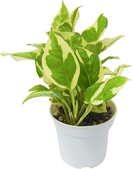 Amazon Com Live Pothos N Joy In Pot Live Plant Free Care