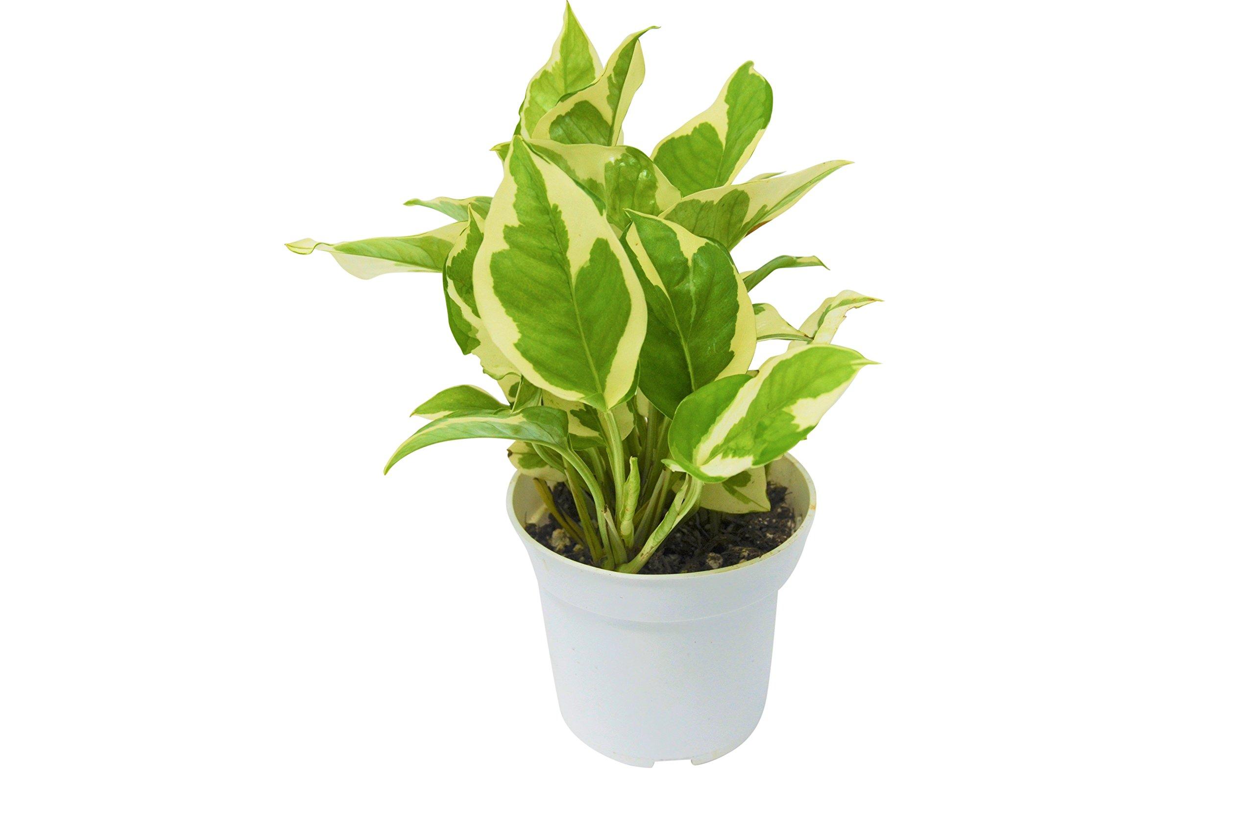 Live Pothos N'Joy in Pot - Live Plant - FREE Care Guide - 4'' Pot by House Plant Shop