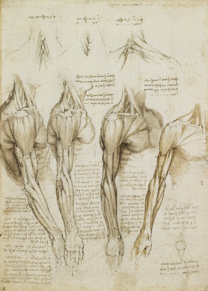Vintage Anatomie LEONARDO da VINCI Muskeln der Schulter, Arm und ...
