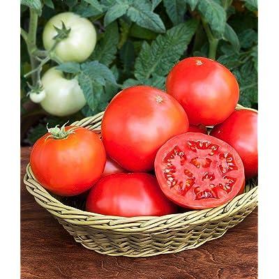 Italian Goliath Tomato Seeds (20 Seed Pack) : Garden & Outdoor