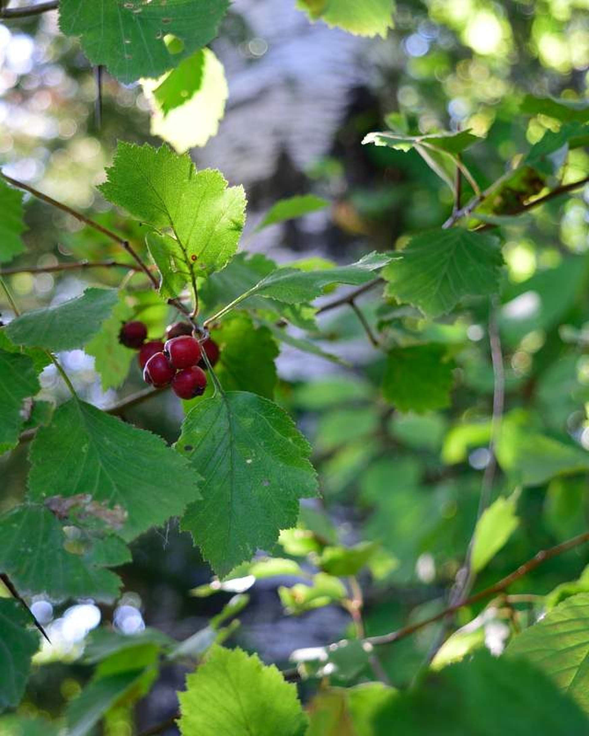 Mayhaw Fruit Tree Crataegus aestivalis Cannot Ship to CA, AZ, AK, HI, OR or WA PER State Laws