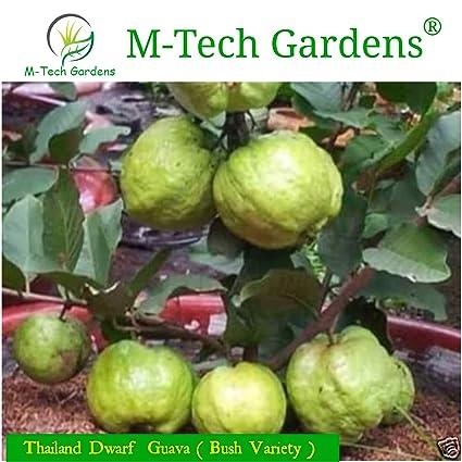 M-Tech Gardens Thailand Dwarf Guava Plant (Psidium guajava