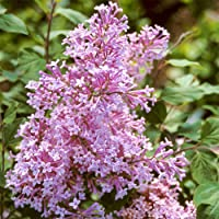 SPRING HILL NURSERIES - Josee Reblooming Pink Flowering Lilac - Enjoy The Fragrance of Lilacs All Summer Long - Includes one Plant in a 4 Inch Pot