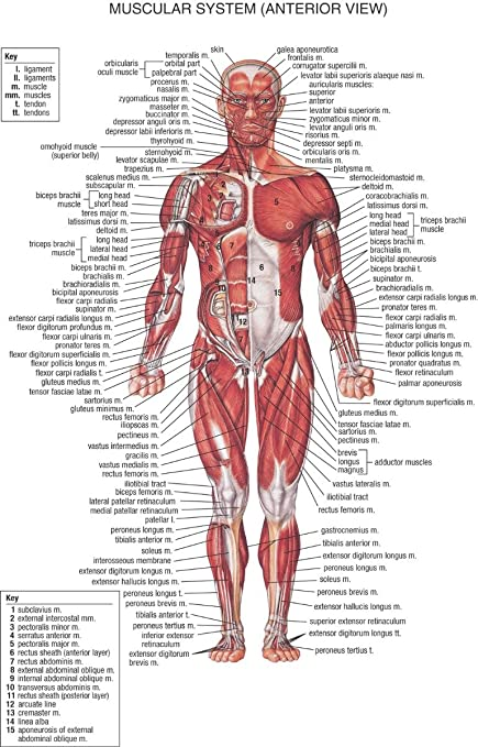Amazon.com: Human Body Anatomical Chart Muscular System poster 36 ...