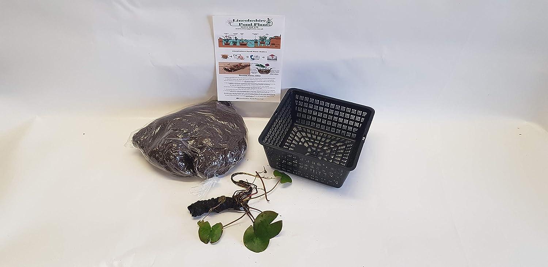 Nymphaea Texas Dawn Water Lily Kits Fish or Wildlife Pond and bog Aquatic Plants bareroot Medium Water Lilies