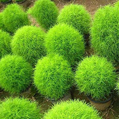Kindes 50pcs Kochia Grass Seeds Garden Fast-Growing Hardy Plants Grasses : Garden & Outdoor