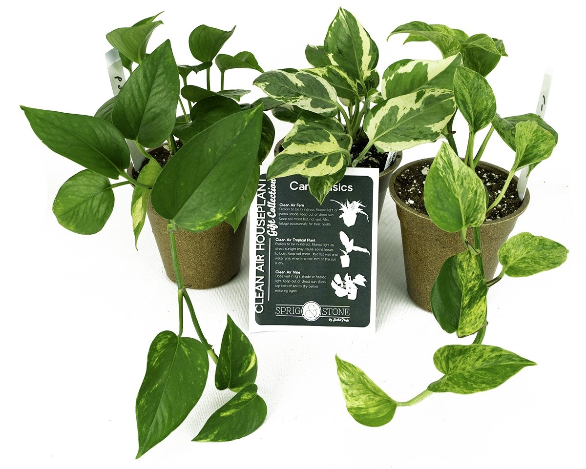 Clean Air Plant in Eco-Friendly Pot - Pothos by Josh's Frogs (Image #6)